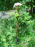Wald-Engelwurz(Arngelica sylvestris(L.))