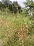 Land-Reitgras(Calamagrostis epigejos(Roth))