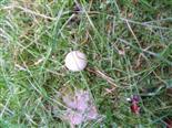 (Leere) Eischale einer Ringeltaube(Columba palumbus(L. 1758))