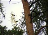 Zwei Saatkrähen(Corvus frugilegus(L. 1758))