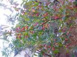 Gewöhnlicher Spindelstrauch, Europäisches oder Gewöhnliches Pfaffenhütchen(Euonymus europaeus(L.))