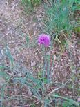 Schnittlauch(Allium schoenoprasum(L.)) Blüte