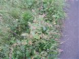 Floh-Knöterich(Persicaria maculosa(Gray))