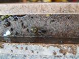 Finsterspinne(Amaurobius fenestralis(Amaurobiidae(Thorell 1870))