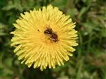 Rotschopfige Sandbiene(Andrena haemorrhoa(Fabricius 1781))