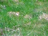 Aurorafalter(Anthocharis cardaminea(L. 1758))