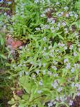 Wald-Vergissmeinnicht(Myosotis sylvatica(Ehrm. ex Hoffm.))