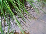 Wolfsspinne(Pardosa) auf der Wasseroberfläche einer Viehtränke