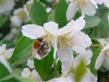 Ackerhummel(Bombus pascuorum(Scopoli 1763)) an Deutzia(Thunb.)) crenata