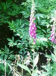 Roter Fingerhut(Digitalis purpurea(L.))