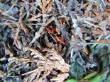 Gemeine Feuerwanzen(Pyrrhocoris apterus(Amyot&Serville 1843))