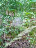 Gespinst der Pflaumen-Gespinstmotte(Yponomeuta padella(L. 1758))