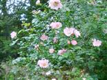Hunds-Rose(Rosa canina(L.))