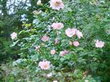 Hunds-Rose(Rosa canina(L.))