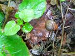 Große Karthäuserschnecke(Monacha cantiana)