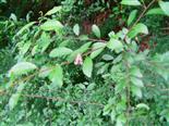 Gemeine Skorpionsfliege(Panorpa communis(L. 1758)) weiblich