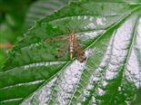 Deutsche Skorpionsfliege(Panorpa germanica(L. 1758)) weiblich