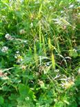 Aufrechte Trespe(Bromus erectus(Huds.))