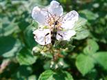 Bockkäfer(Leptura maculata)
