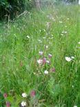 Wiesenglockenblume(Campanula patula(L.)), ferner Ackerwachtelweizen(Melampyrum arvense(L.)) sowie Margariten(Leucanthemum vulgare(Mill.)) u. a.