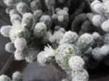 Blüte des Warzenkaktus(Mammillaria elongata)