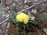 Gelbe Lohblüte(Fuligo septica(F.H. Wiggers))