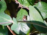 Gemeine Keilfleckschwebfliege(Eristalis pertinax)