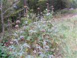 Kugeldistel(Echinops sempervirens)