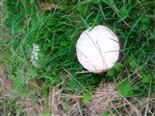 Wiesen-Champignon(Agaricus campestris(Fr.))