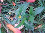 Gemüse-Gänsedistel(Sonchus oleraceus(L.))