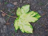 Ahornblatt(Acer) herbstlich(Chlorophyll-, Carotinoid- u. a. abbau)