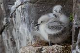 2 Dreizehenmöwenküken im Nest