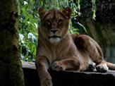 Lioness Model