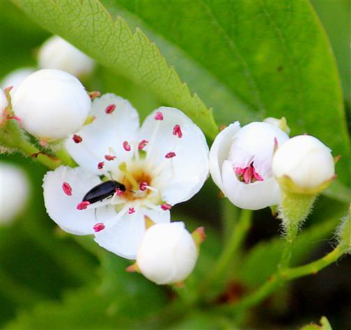 Weißdornblüten mit Scheinstachelkäfer