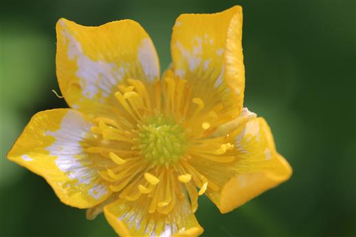 Kriechender Hahnenfuß (Ranunculus repens) mit Pigmentstörung