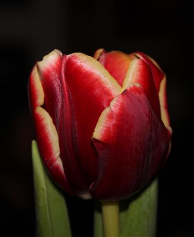 festliche Tulpe