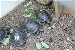 Aufzuchtstation für Riesenschildkröten