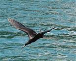 Fregattvogel sieht Beute
