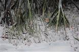 Luftwurzeln der Mangroven