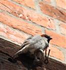 Haus - Sperling (Passer domesticus) männlich