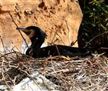 Kormoran (Phalacrocorax carbo) brütet