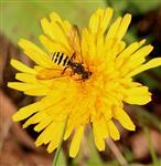 Wespenbiene (wahrscheinlich Nomada succinata)
