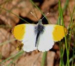 Aurorafalter (Anthocaris cardamines), Männchen