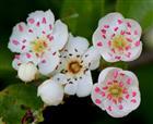 Zweigriffeliger Weißdorn (Crataegus laevigata), Blüten und Knospen