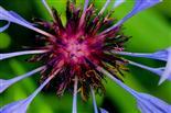 Herz der Flockenblume