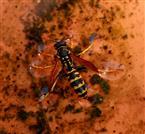 Wasserläufer - Wespe