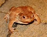 Erdkröte (bufo bufo) bläst sich auf.
