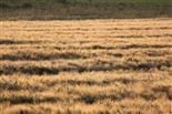Kornfeld im Licht der Morgensonne