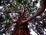 Tanzender Baum I
