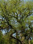 Tanzender Baum II